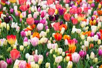 Blooming flowers in Keukenhof park in Netherlands, Europe