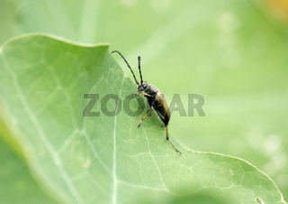 Käfer, Rothalsbock,  auf einem Blatt