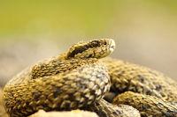 the elusive hungarian meadow viper