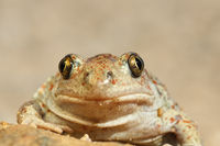 portrait of cute spadefoot toad looking at the camera ( Pelobates fuscus )