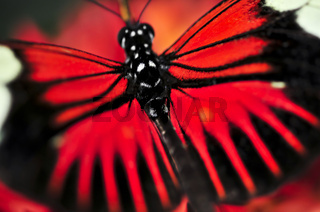 Red heliconius dora butterfly