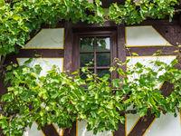 Mit Weinreben umrahmtes Fenster eines Fachwerkhauses