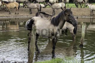 Sehnsüchtiger Blick, wild lebende Pferde im Merfelder Bruch, Dülmen, Nordrhein-Westfalen, Juni,
