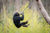 Swinging Chimp V