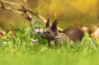 red european squirrel on green grass ( Sciurus vulgaris )