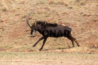 Sable antelope running