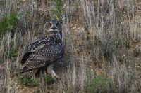 im Hang... Europäischer Uhu *Bubo bubo*, Altvogel auf der Jagd, leuchtend orange Augen