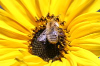 Sonnenblume mit Hummel / Sunflower with bumble bee