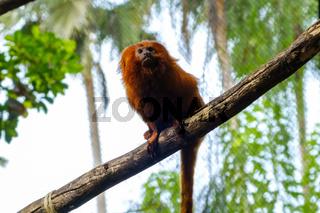 golden lion tamarin /  golden marmoset - red monkey