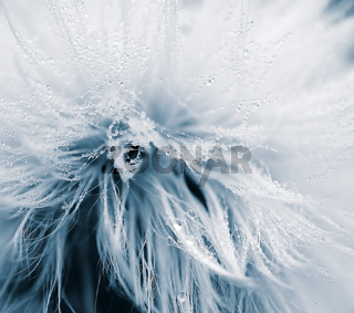 Macro of a dandelion covered with dew