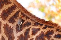 Rotschnabel-Madenhacker auf Giraffe, Red-billed oxpecker on a giraffe, Südafrika, Kruger NP