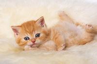 Rotes Kätzchen