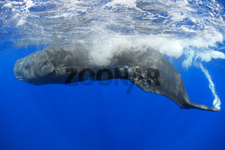 Pottwal, Physeter catodon, Physeter macrocephalus, sperm whale