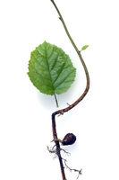 Nussbaumsproessling, Nussbaum, Hasel, Corylus, avellana