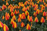 Feld mit feuerfarbenen holländischen Tulpen