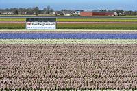 Feld mit blühenden Hyazinthen und Werbebanner mit der Aufschrift I love Noordwijkerhout