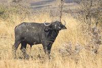 male African Buffalo standing in the bush savanna hot day