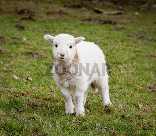 Young newly born lamb in meadow in Wales