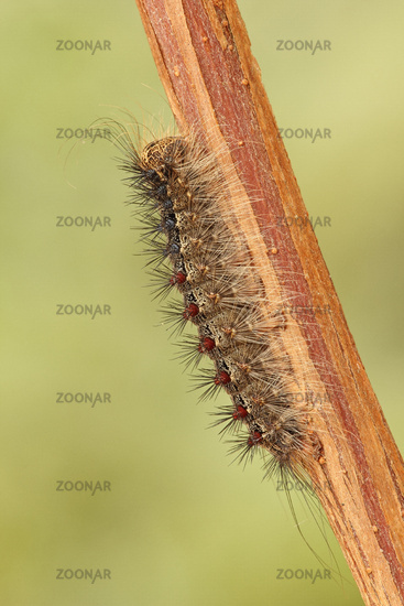 Schwammspinner Raupe (Lymantria dispar)