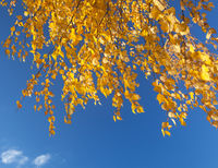autumn foliage branch and blue sky