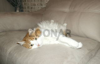 Red and white cat is resting on the couch