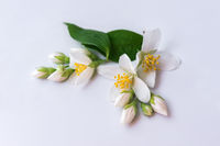 Set of jasmine flowers on white background