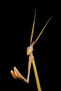 Cone-headed Mantid