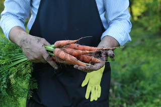 gardener man holding carrot harvest in a hand