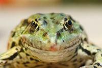 marsh frog portrait looking at the camera ( Pelophylax ridibundus )