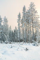 Clearcut in a forest with snow and frost in a beautiful winter landscape