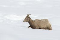 bis zum Bauch im Schnee... Dickhornschaf *Ovis canadensis*