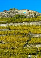 Terrassierte Weinberge von Rivaz im Herbst