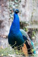 closeup of the peacock