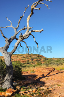 Tree in the desert with shadow in the afternoon light, Kings Canyon, Northern Territory