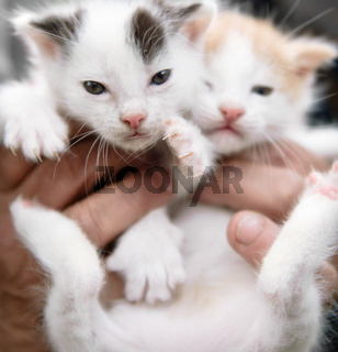Human hands holding a pair (2) of cute baby kittens