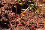Rundblättriger Sonnentau im Hochmoor - Drosera rotundifolia