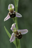 Bienen-Ragwurz (Ophrys apifera)