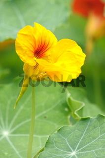 Kapuzinerkresse, gelbe Blüte