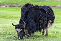 Schwarzes Haus-Yak (Bos grunniens) auf der Weide