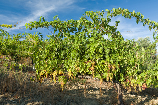 Colored grapes in the vineyard in a sunny day