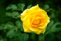 Fresh rose plant with yellow flower in green garden
