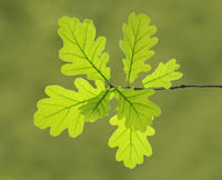 branch and leaves of oak tree