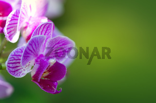 Pink orchid with water drops isolated.