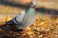 feral pigeon walking on faded leaves in the park ( Columba livia )