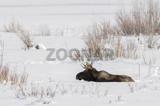 ruhend im Schnee... Elch *Alces alces*