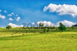 Herd of cows on a green sunny meadow with fresh grass.