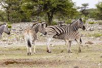 Zebra, Weibchen mit Fohlen, Zebra, females with foals
