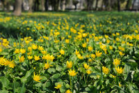 Winter Aconite, Eranthis Hiemalis