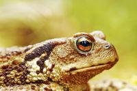 macro image of common brown toad head ( Bufo )