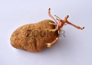Kartoffelkeimung; solanum tubersosum;